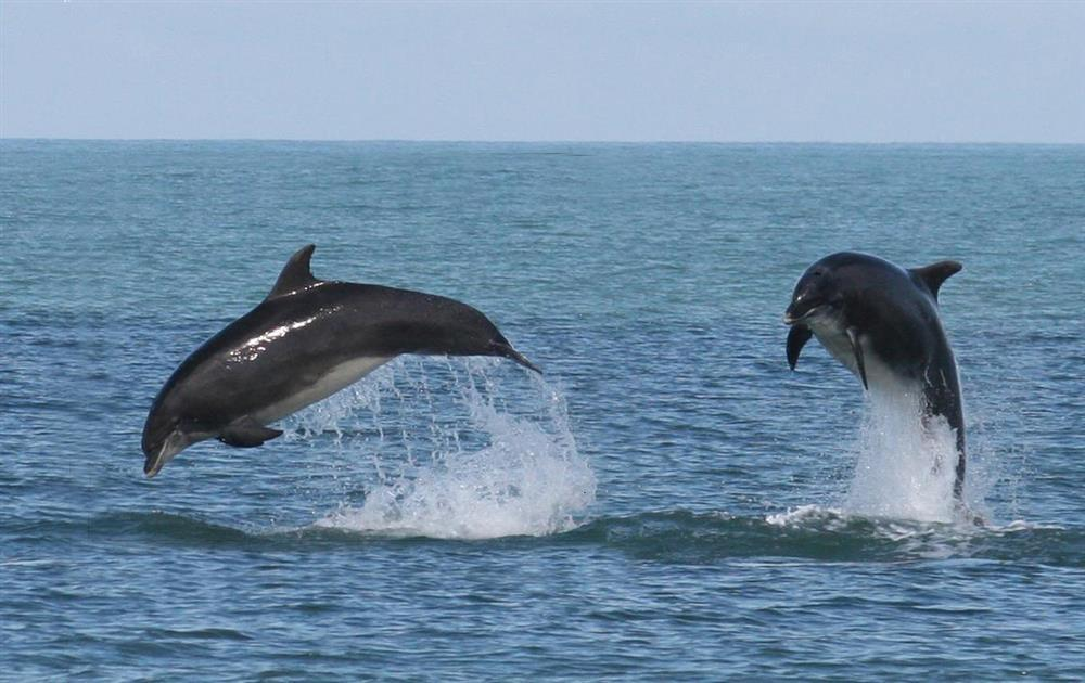 Photograph of 08-Local Area-Dolphins in Cardigan Bay-930