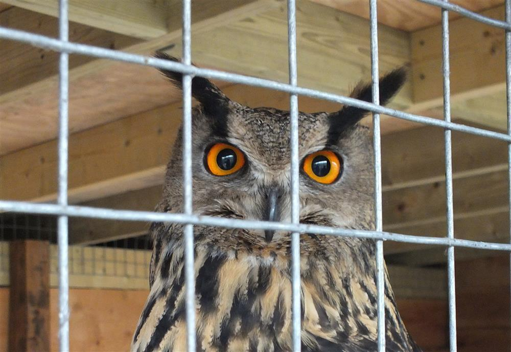 833-7-owls at Aberangell (1)