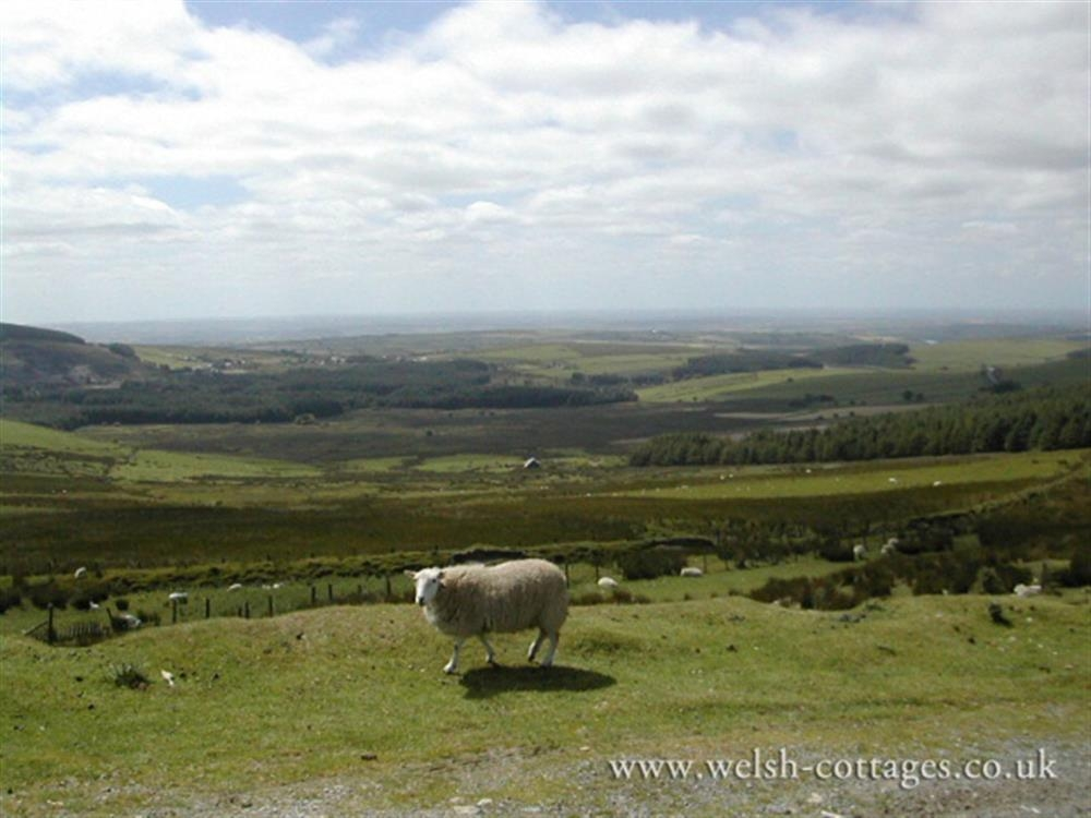 Photograph of 2140-extra-Preseli hill sheep