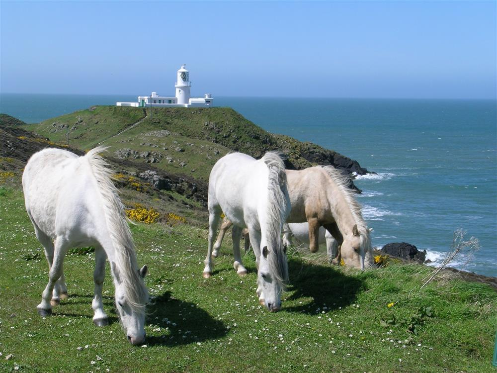 450-extra ponies at Strumble